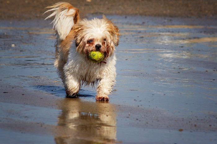 Shih Tzu playing ball on the beach