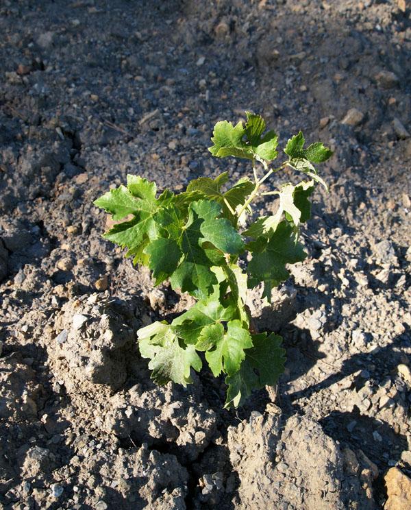 Young vine, Domaine Haut Gléon, Durban