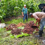 Making compost, Loma Sotavento Cacao plantation, Dominican Republic