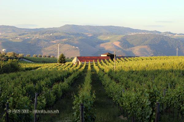 Vineyard, Quinta do Portal, Douro Valley