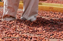 Trampling cocoa bean, Crayfish Bay, Grenada