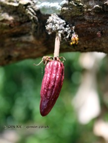Young cocoa pod, Crayfish Bay, Grenada