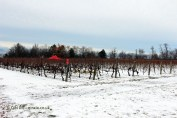 Frozen vineyards at Inniskillin