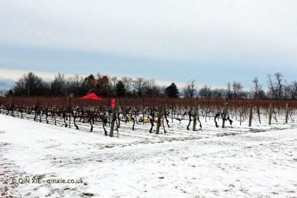 Frozen vineyards at Inniskillin