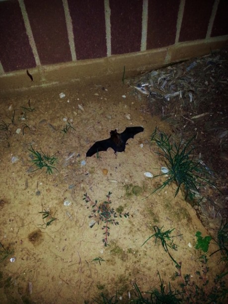The bat that flew into the house...guess the bat radar wasn't working. It flew away after a little while.
