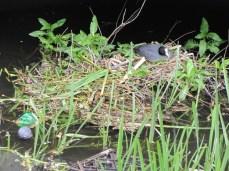 Coot nesting amongst human debris