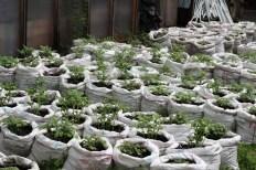 Princezzinnen Garten tomatoes in sacks