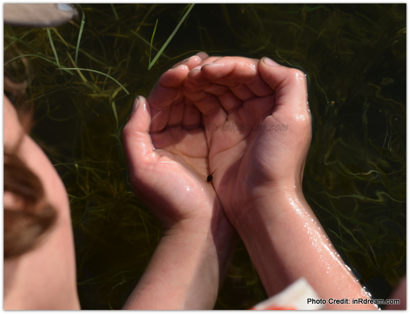 catching Tadpoles in backyard pond