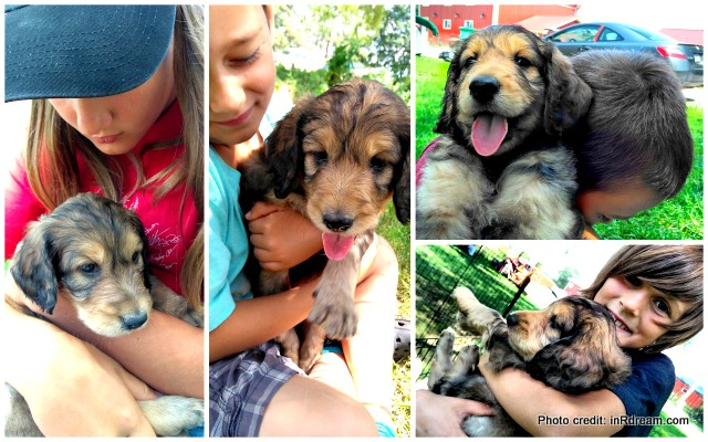 Introducing Our Goodledoodle Puppy – Mocha