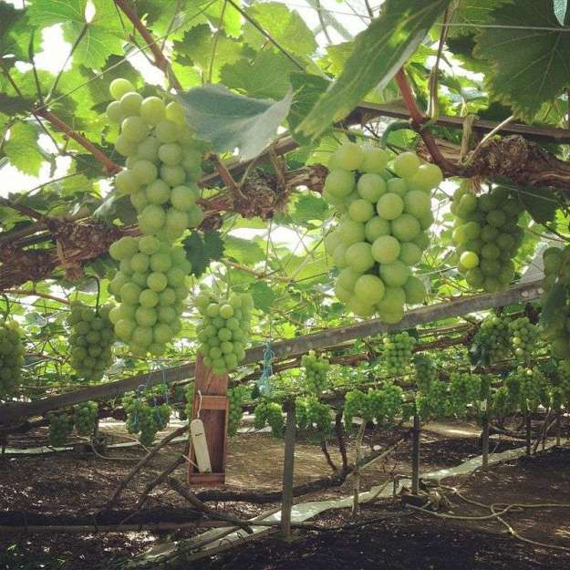 Saitama Fruit. Grape picking in Sayama