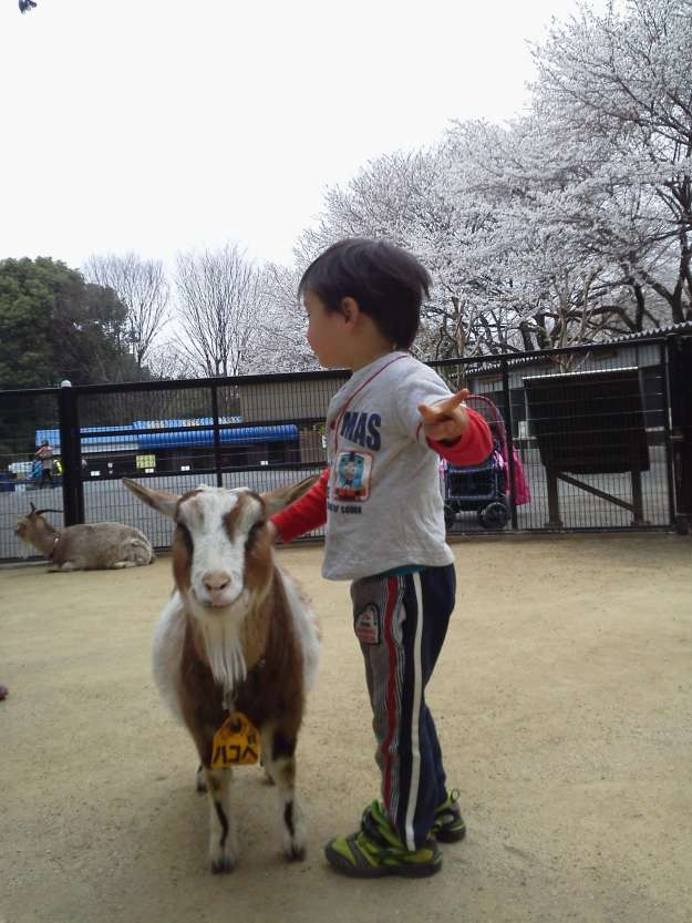 Cherry Blossoms at Chikozan Park Children's Zoo | SAYAMA