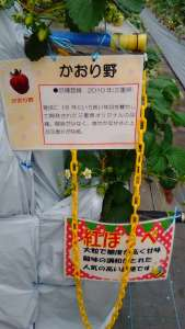 2 Shimura (3) strawberry picking saitama
