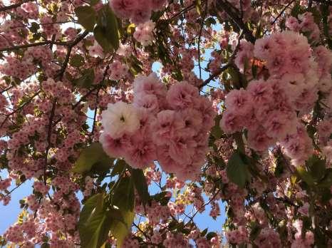 Yaezakura Late blooming sakura cherry blossom