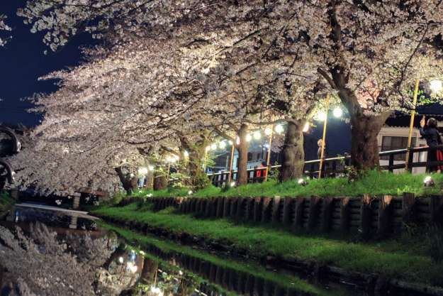 Shingashi River cherry blossom night light up