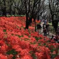 Higanbana / Red Spider Lily Festival | SATTE