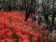 Satte red spider lilies higanbana manjyusyage