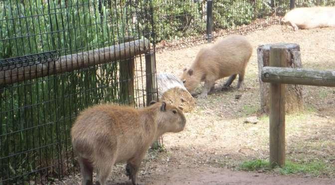 Capybara Onsen At Saitama Children Zoo | HIGASHIMATSUYAMA