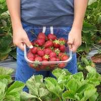12 Strawberry Picking Farms in Western Saitama