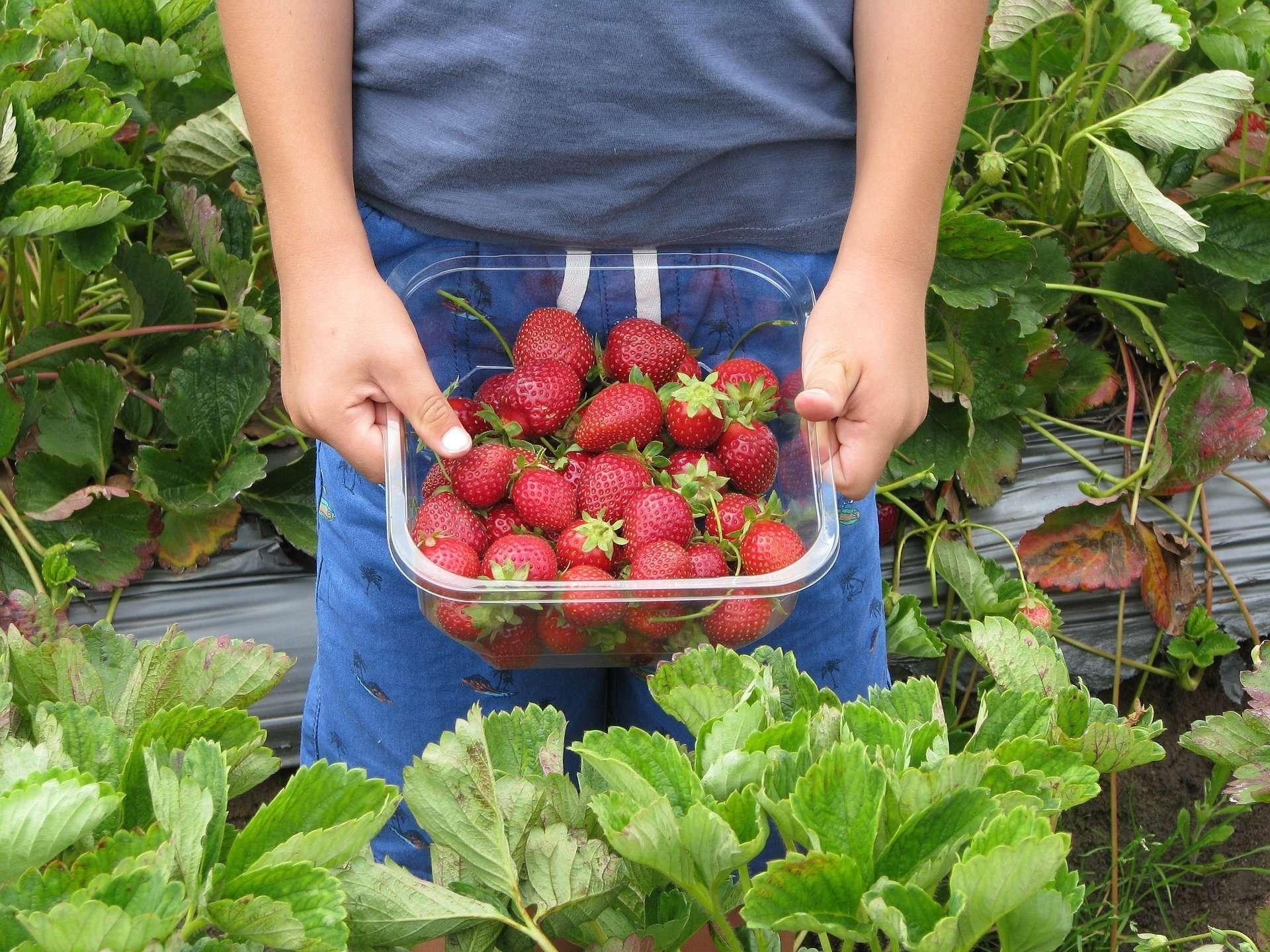 Saitama Strawberry Picking