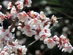 Ranzan Cherry Blossom Festival