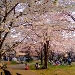 Cherry Blossoms Tobu Tojo Line