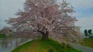 Cherry blossoms and Swimming School | HIGASHIMATSUYAMA