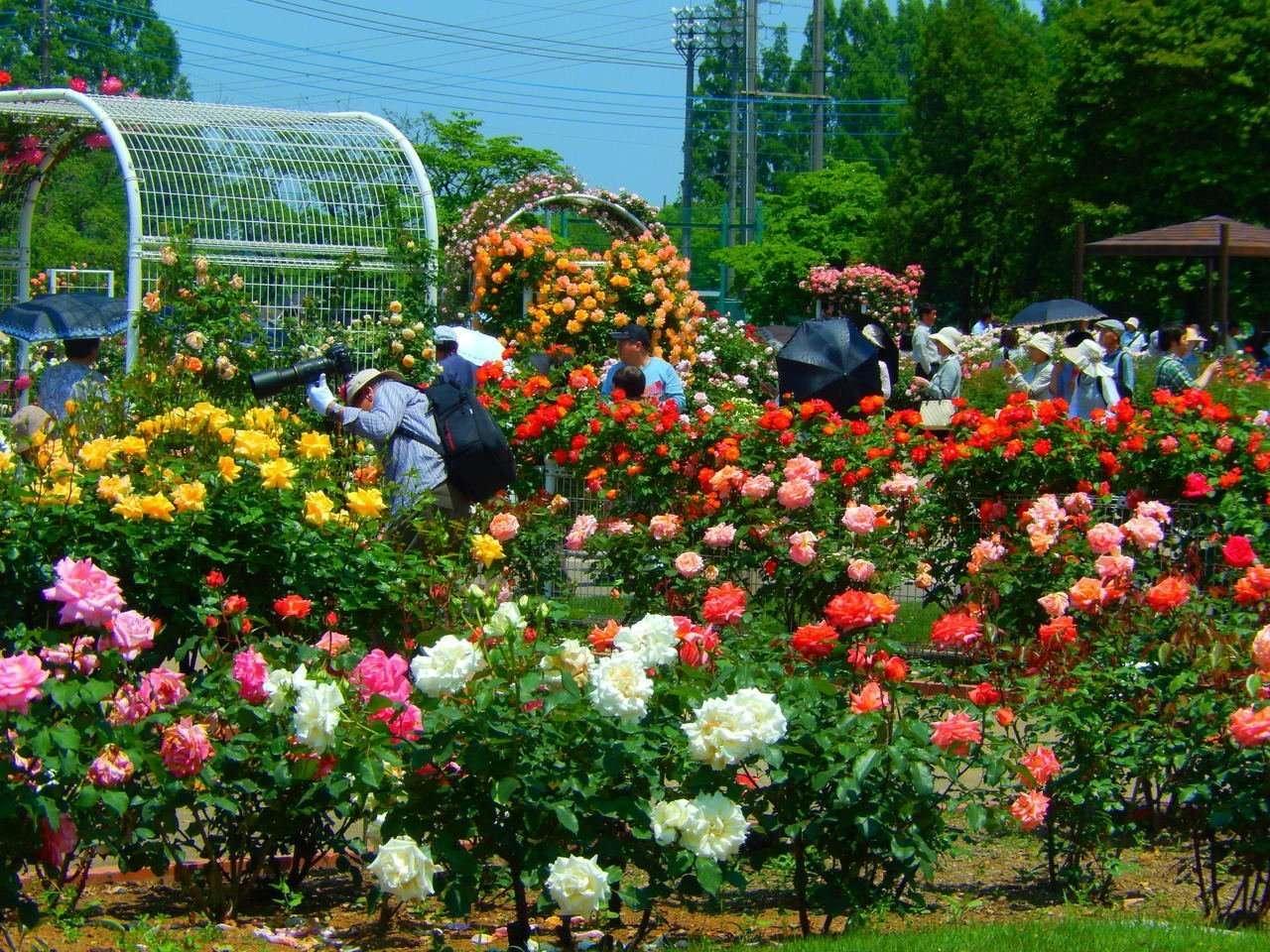 Ina rose festival