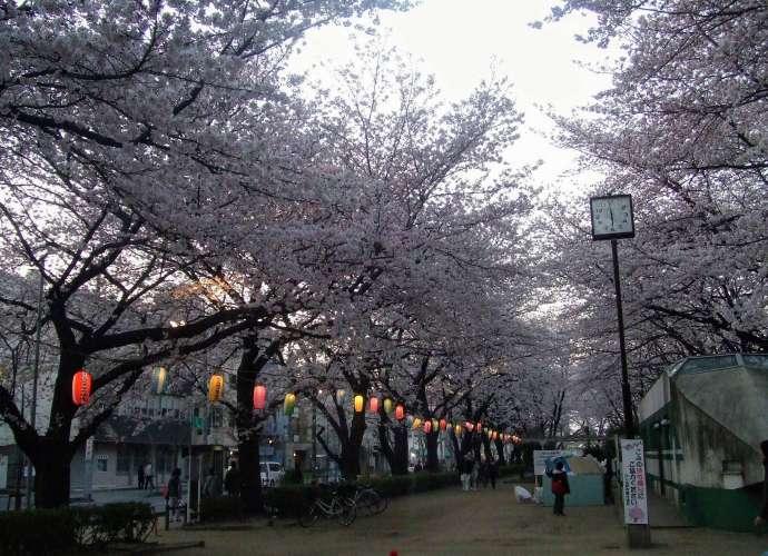 Fujimino cherry blossom festival