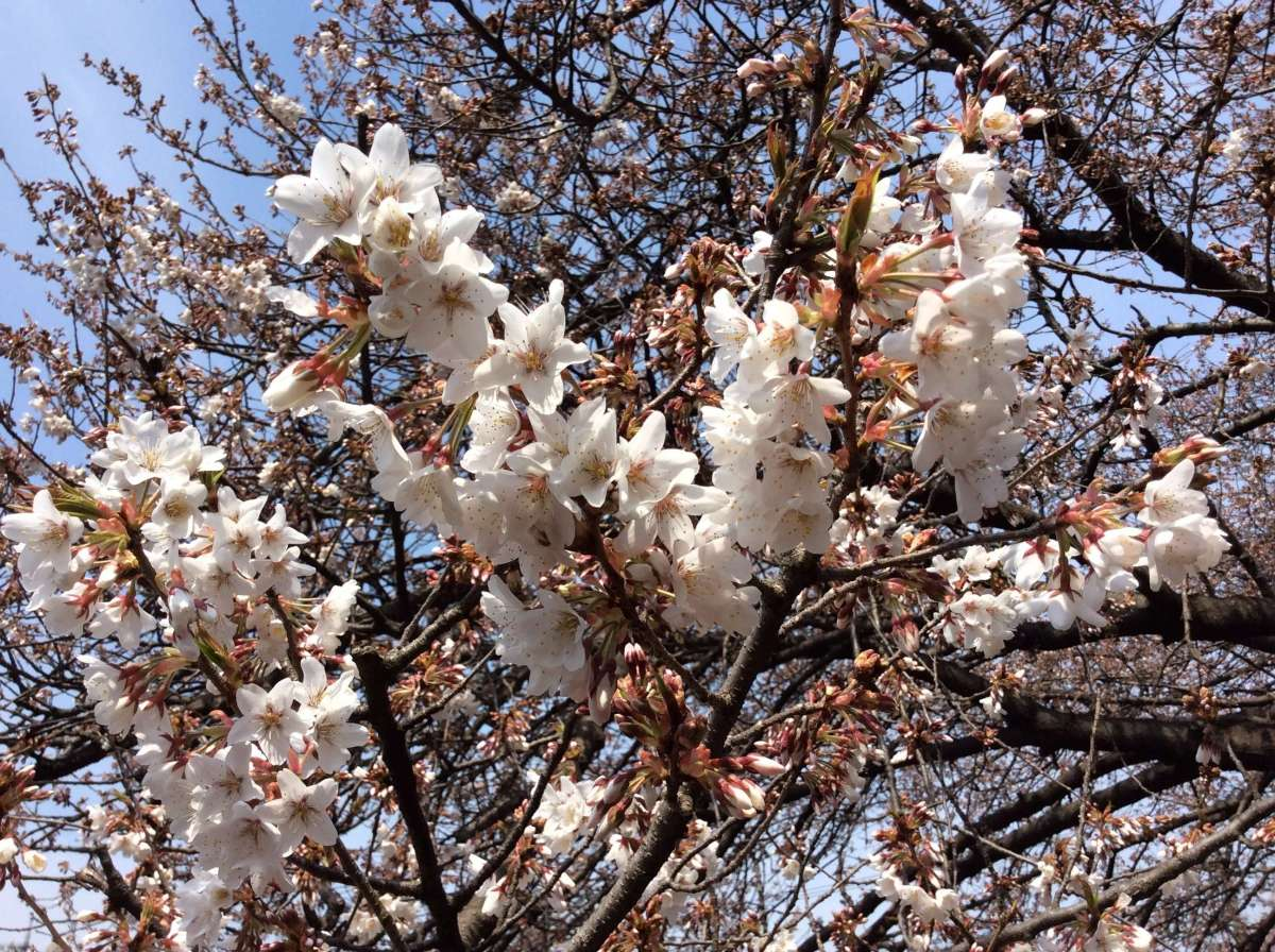 Only one in the world: Saitama's famous cherry blossom | KITAMOTO