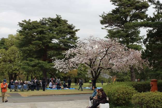Late blooming sakura at Inariyama Park Cherry Blossom Festival