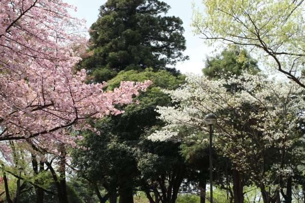Glamorous Hyde Park during late blooming sakura period Inariyama park