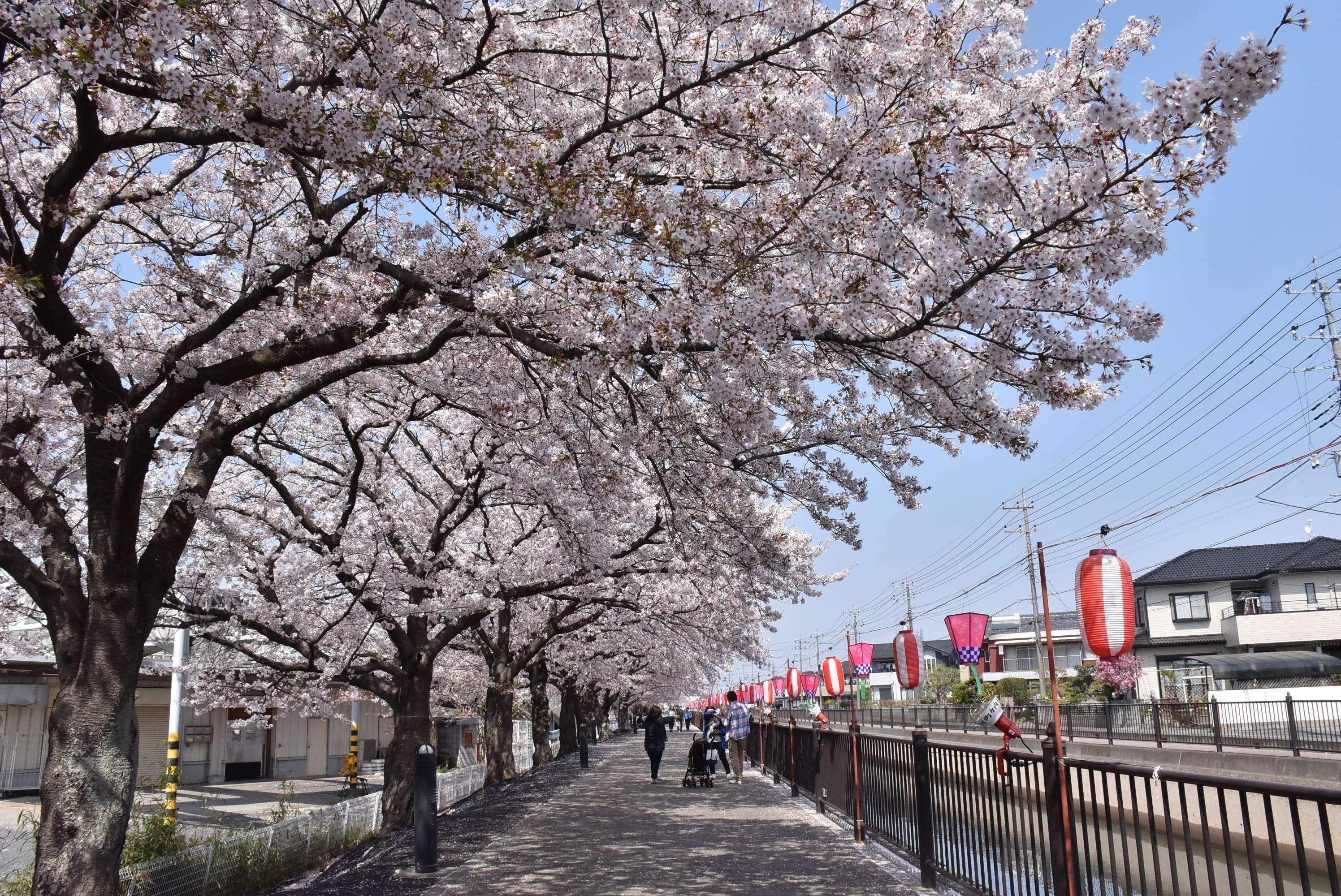 Hanyu Cherry blossom festival kasai irrigation canal