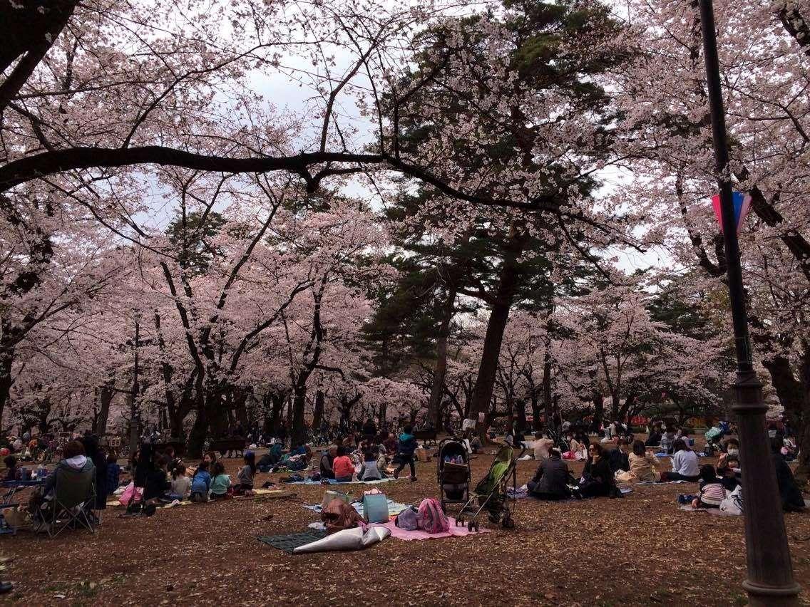 Omiya Park Cherry Blossoms | SAITAMA CITY