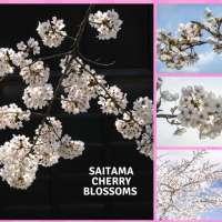 Saitama Cherry Blossoms: most famous spots
