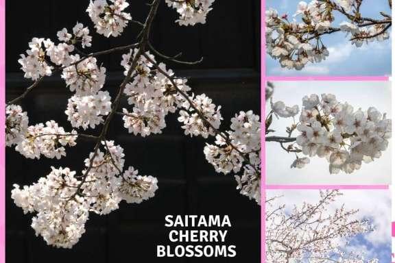 Saitama Cherry Blossoms Honjo cherry blossoms