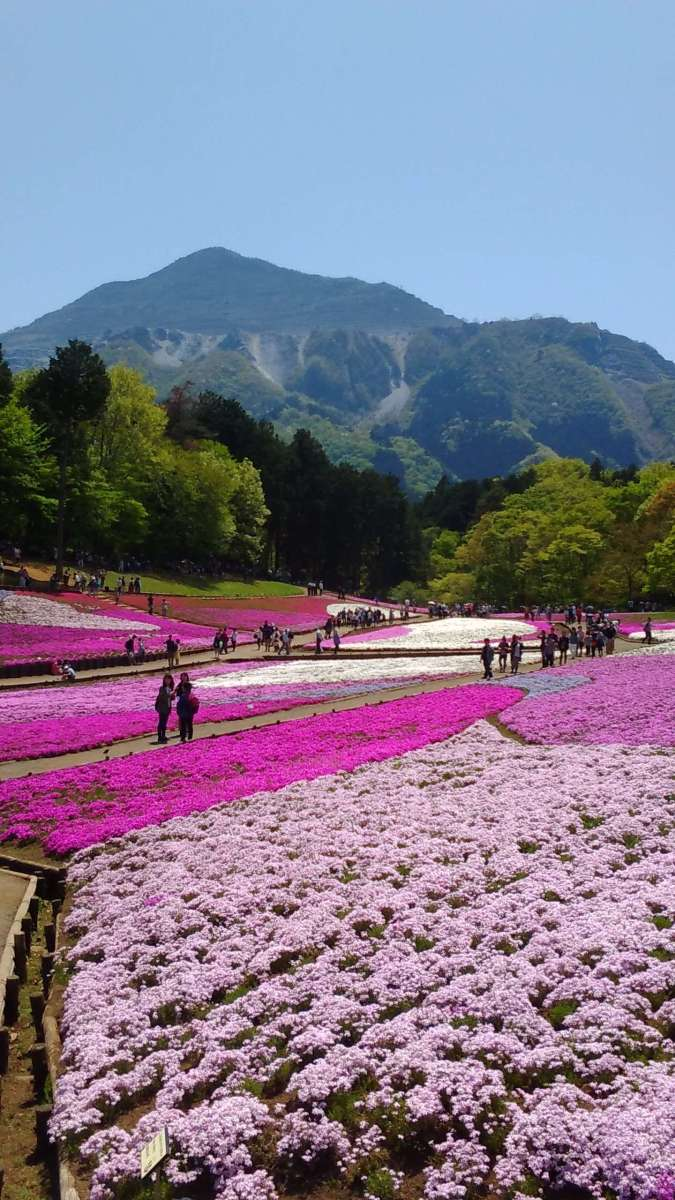 Shibazakura Matsuri | Moss Phlox Festival at Hitsujiyama Park | CHICHIBU