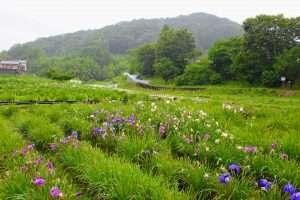 Tokigawa Iris Garden