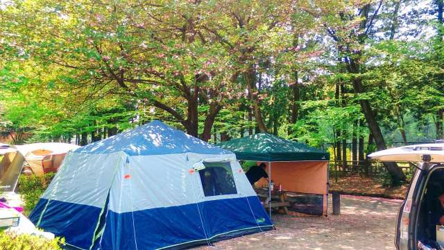 cherry blossom tree camp site ground