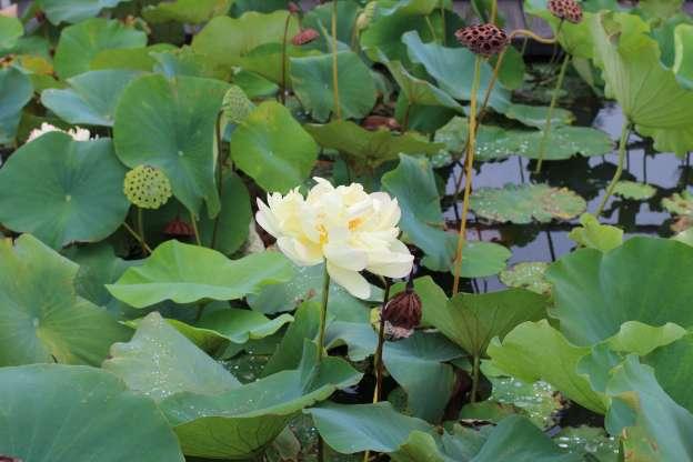 Ancient lotus of kodai hasu no sato