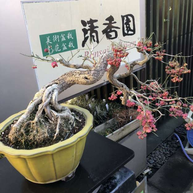 Make your own Saika bonsai | OMIYA