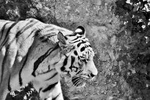Fireflies and White Tigers at Tobu Zoo | MIYASHIRO