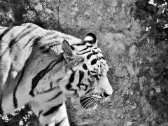 White tiger image for Tobu Zoo post. From Pixabay