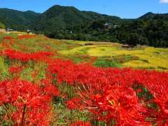 Terasaka Rice terraces higanbana red spider lily cluster amaryllis from the official Yokoze Tourism website