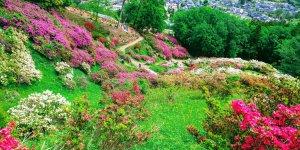 Azalea at Godaison Tsutsuji Park | OGOSE