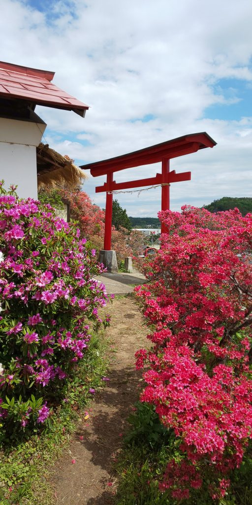 Purple and pink azalea and red torii at godaison azalea tsutsuji park ogose
