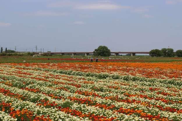 California Poppies at Kounosu Poppy Festival