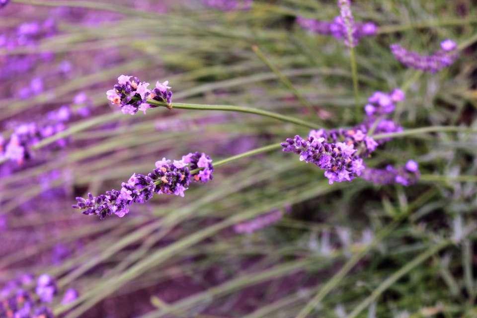 Visiting Ranzan Lavender Festival at Sennen No Sono