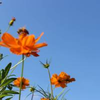 Cosmos Flowers: 9 places for Cosmos viewing in Saitama