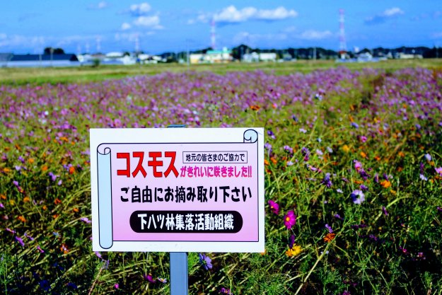 Cosmos picking in Kawajima
