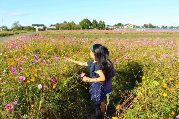 Cosmos Picking and Autumn Roses in Kawajima